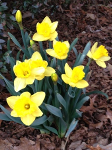 One of several varieties of daffodils Ray planted and the earliest to bloom. They come back year after year, a cheerful reminder of him!