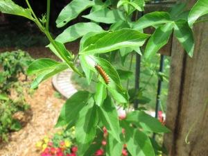 An early caterpillar