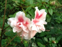 Blooming twice a year, Encore(R) azaleas can add color to fall gardens.