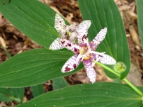 The small but exotic blooms of Tricyrtis hirta (toad lily) are worthy of up-close admiration.