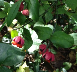 """The decorative seed pods of Euonymus americanus (American euonymus) give rise to one of the plant's more endearing common names, """"Hearts-a-bustin'""""."""