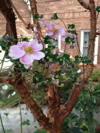 One of my favorite fall-blooming perennials, this Japanese anemone (Anemone hupehensis var. japonica) is doubling as a lovely decoration my paperbark maple (Acer griseum), which in turn is providing a support for its flower and bud-laden stems.