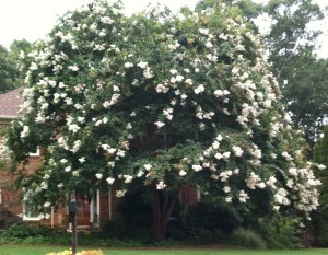 7-27-2013, My beautiful crape myrtle