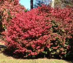 "It's easy to see how Euonymus alatas got the common name, ""Burning Bush"" since it looks like it's ablaze this time of year."