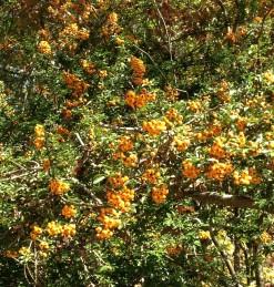 Pyracantha x 'Teton' has a profusion of yellow-orange berries.
