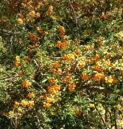 Pyracantha x 'Teton' has a profusion of yellow-orange berries.
