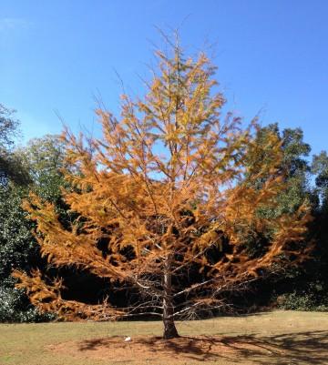 Pseudolarix kaempferi, Golden Larch, is one of the deciduous conifers.