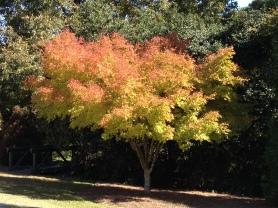Acer palmatum 'Beni Kawa', Coral Bark Japanese Maple