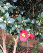 Camellia x vernalis 'Yuletide' usually blooms in December, hence its name. Mine is blooming a bit early this year - must have been influenced by the local retailers!