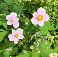 Japanese anemone. I think the buds are almost as pretty as the flowers.